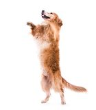 Cute dog jumping - over a white backgorund Royalty Free Stock Image
