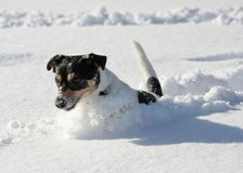 Cute dog jumping in snow. Cute dog jumping around in deep snow stock image