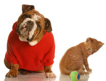 Cute dog and kitten. English bulldog in red sweater and orange tabby kitten playing with ball Stock Photography