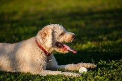 Cute dog. Lagotto rogmagnolo play stock photos