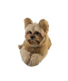 Cute Dog Lay Down Royalty Free Stock Image