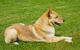 Cute dog laying down on grass Royalty Free Stock Images