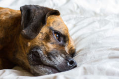 Cute Dog Lays on Bed Reflecting stock photos
