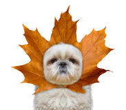Cute dog with a leaf instead hat on the head. Isolated on white Stock Photos