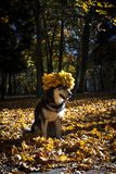 Cute dog with leaves in autumn park stock photo
