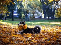 Cute dog with leaves in autumn park royalty free stock photo