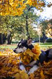 Cute dog with leaves in autumn park stock photography