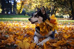 Cute dog with leaves in autumn park stock image