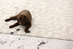 Cute dog leaving muddy paw prints. On carpet Stock Photos