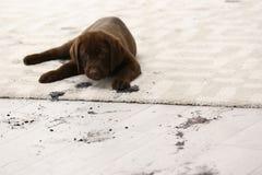 Cute dog leaving muddy paw prints. On carpet royalty free stock photos