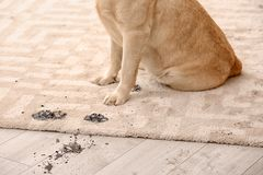Cute dog leaving muddy paw prints. On carpet Stock Image