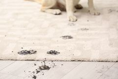 Cute dog leaving muddy paw prints. On carpet Royalty Free Stock Photography