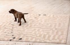 Cute dog leaving muddy paw prints. On carpet royalty free stock image