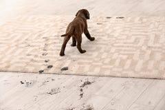 Cute dog leaving muddy paw prints. On carpet stock photo