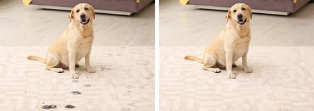 Cute dog leaving muddy paw prints. On carpet royalty free stock images