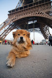 Cute dog lies in front of the Eiffel tower Royalty Free Stock Photos