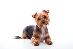 Cute dog lies on white background. Yorkshire Terrier Stock Image