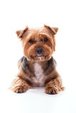 Cute dog lies on white background. Yorkshire Terrier royalty free stock photos