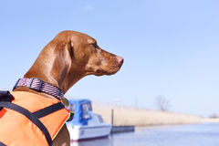 Cute dog with life jacket. On board of a motor boat. Viszla wearing a life jacket and looking out to the marshland. Copy space Stock Photo