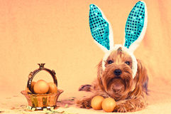 Cute dog like easter bunny Royalty Free Stock Photography