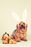 Cute dog like easter bunny Royalty Free Stock Image