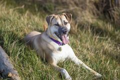 Cute Dog with a Long Tongue on the Grass stock images