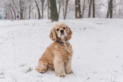 Portrait of beauitful cocker spaniel at winter royalty free stock image