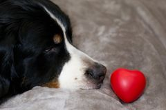 Cute dog is looking on heart lying in front his nose. Breed Bernese Mountain gog on bed. Concept of Valentine`s day, Internationa royalty free stock image