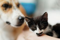 Cute dog looking at little kitty in stylish room. woman holding stock images