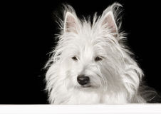Cute Dog looking out th window Royalty Free Stock Image