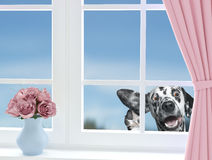 Cute dog looking through the window stock image