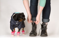 Cute dog looks at boots. Studio shot royalty free stock images