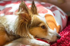 Cute Dog Looks Depressed. This cute dog (sheltie, shetland sheepdog) looks sad and in sorrow while resting Royalty Free Stock Image