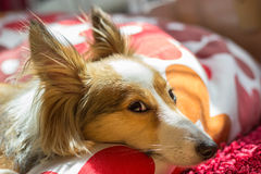 Cute dog looks directly in the camera. This cute dog (sheltie, shetland sheepdog) looks directly in the camera while resting Royalty Free Stock Photo