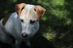 Cute Jack Russell Terrier Mix Dog Looks Downward stock images