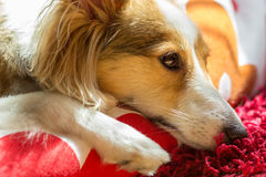 Cute dog looks sad. This cute dog (sheltie, shetland sheepdog) looks sad and in sorrow while resting Royalty Free Stock Photos