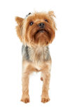 Cute dog looks up Royalty Free Stock Image