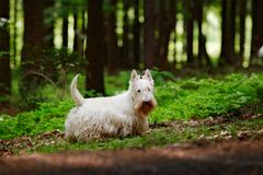 Cute dog lost in the dark forest. White Scottish terrier, sitting on gravel road with green leaves during spring, tree forest in. Background. Home animal pet in royalty free stock images