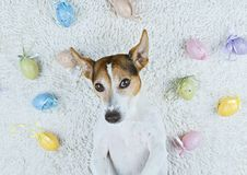 Cute dog lying back on white rug with Easter painted eggs. Adorable jack russell dog lying back on white rug with Easter painted eggs looking at camera Pet take stock photography