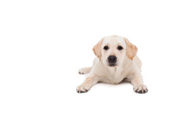 Cute dog lying down alone and looking at camera Stock Photography