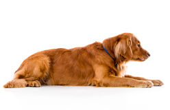 Cute dog lying down Royalty Free Stock Photo