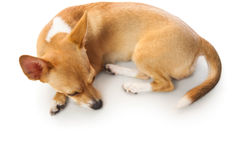 Cute dog lying down Royalty Free Stock Image