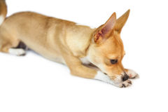 Cute dog lying down Stock Images