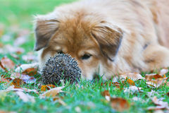 Cute dog lying in front of a hedgehog Stock Photography
