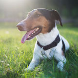 Cute dog lying in grass outdoor Stock Photo