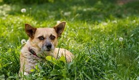 Cute dog lying on the green grass stock image