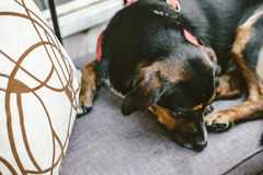 Cute dog lying on grey sofa in cafe royalty free stock image