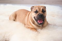 Cute dog lying on light fuzzy carpet. At home royalty free stock photos