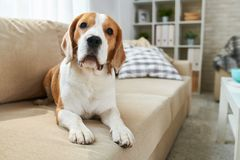 Cute dog lying on sofa stock photos