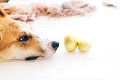 Cute dog lying at stylish easter chocolate eggs in golden foil on white wooden background and looking with cute eyes. Modern. Easter eggs. Happy Easter. Space royalty free stock images